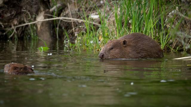 Beavers in Muides-sur-Loire © Observatoire Loire