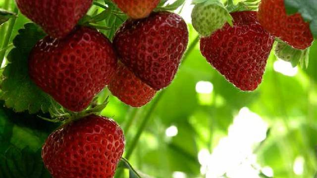 The Mara des Bois strawberry. © OTBC