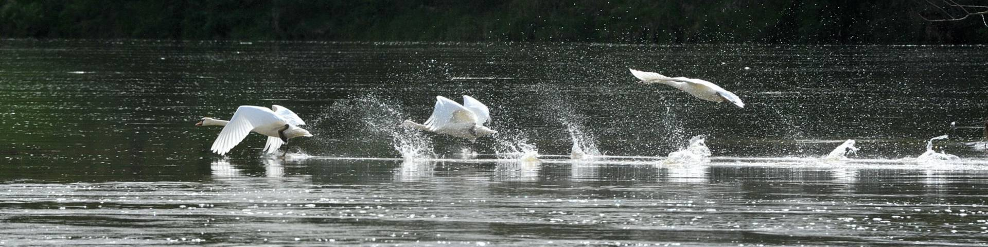 Flight of swans over the river Loire