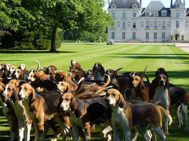 The dogs of the Equipage de Cheverny in the park