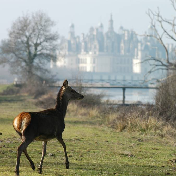 Young deer in the grounds of Chambord