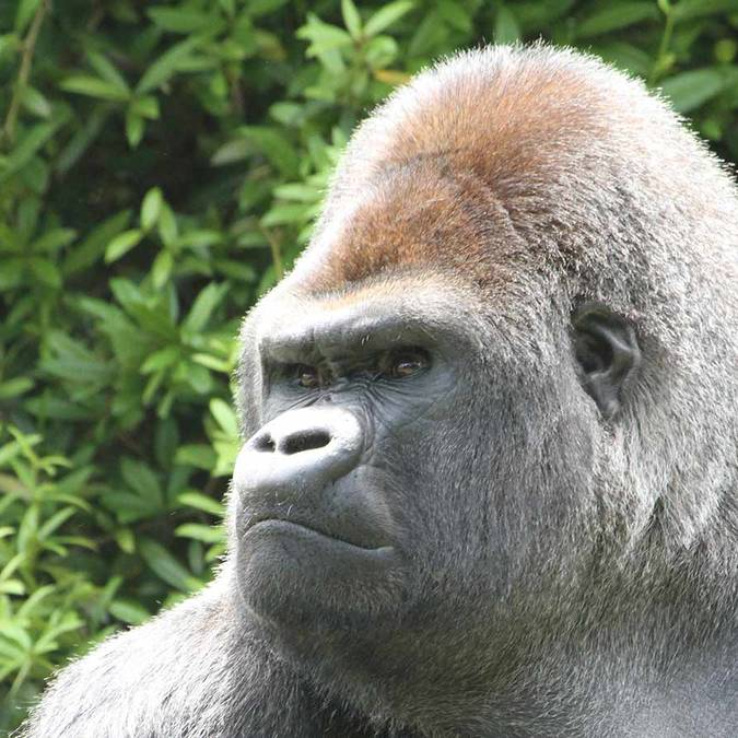 Asato the gorilla, ZooParc de Beauval