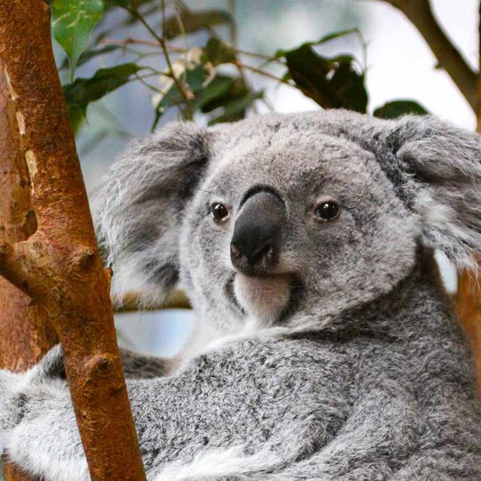 Koalas at Beauval. © ZooParc de Beauval