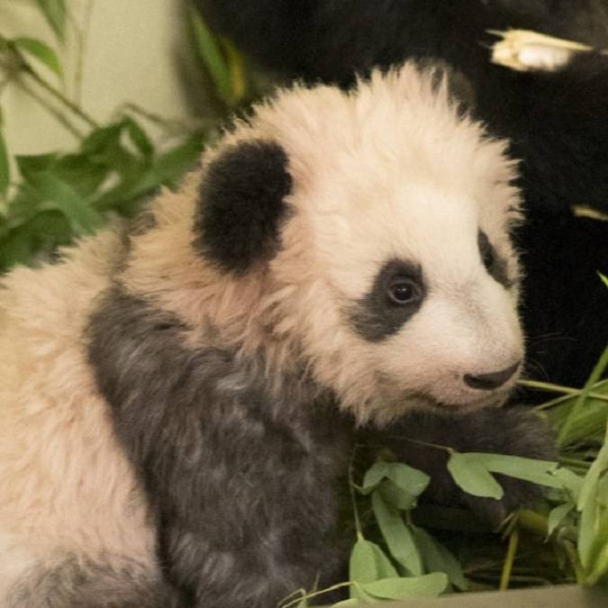 Yuan Meng, the baby panda, star of the ZooParc in Beauval. © Beauval